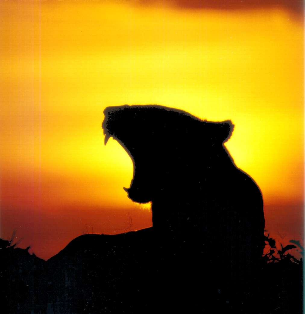 Lioness in front of sunset, 2001, by Thomas R. Wilke